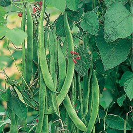Bean (Runner) Seeds - Enorma