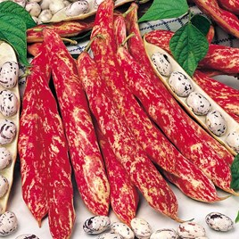 Bean (Dwarf French) Seeds - Borlotto Firetongue