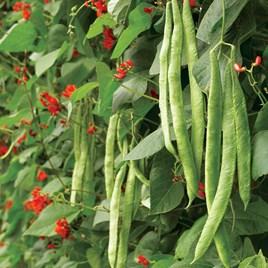 Bean (Runner) Seeds - Scarlet Emperor