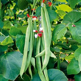 Bean (Runner) Seeds - St George