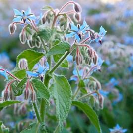 Herb Seeds - Borage