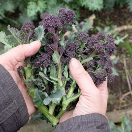 Broccoli Purple Sprouting Early