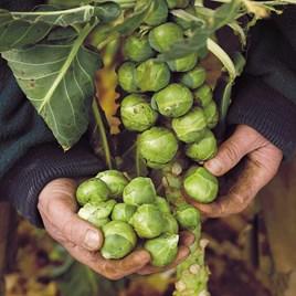 Brussels Sprout Seeds - F1 Brigitte