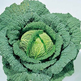 Cabbage (Savoy) Seeds - Ormskirk (1) Rearguard