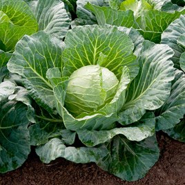Cabbage F1 Sunta