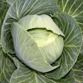 Cabbage Drago F1