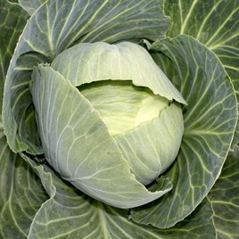 Cabbage Drago F1