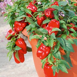 Pepper Sweet Seeds - F1 Redskin