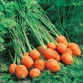 Carrot Seeds - Rondo