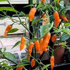 Pepper (Chilli) Slow Burn (1) P10