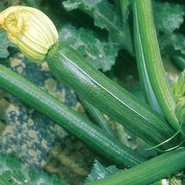 Courgette Plants - F1 Partenon
