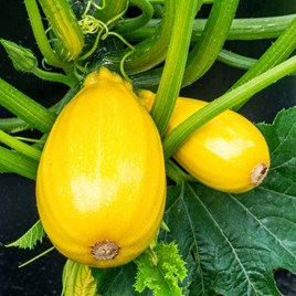 Courgette Seeds - F1 Golden Griller