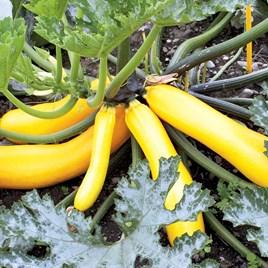 Courgette Golden Zucchini
