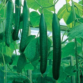 Cucumber (All Female) Seeds - F1 Bella