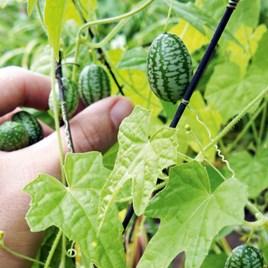 Cucamelon Plants