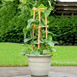 Cucumber Plant - Patio Snacker