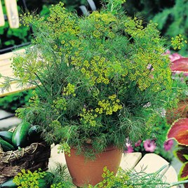 Herb Seed - Dill