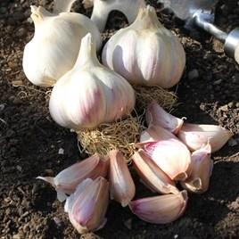 Garlic Bulbs - Kingsland Wight