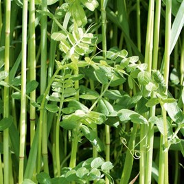 Green Manure Seeds - Winter Mix