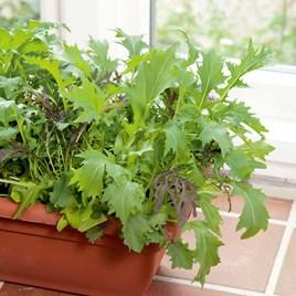 Speedy Veg Seed - Leaf Salad Winter Mix