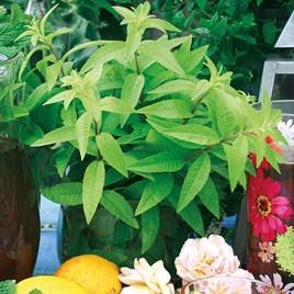 Lemon Verbena Freshman (3) Botanical Infusions