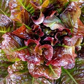Lettuce Outredgeous