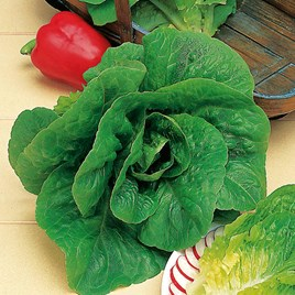 Lettuce Seeds - Winter Density