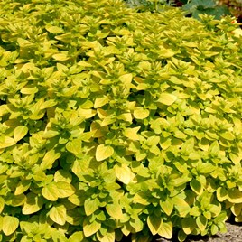 Herb Plant - Marjoram Golden