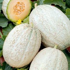 Melon (Grafted) Plant - F1 Emir