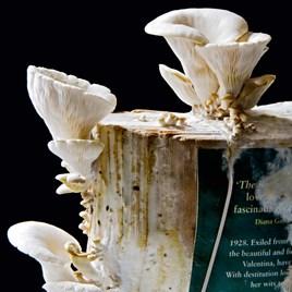Grey Oyster Mushroom Book Spawn 50g