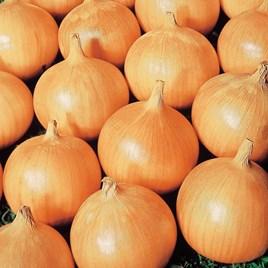 Onion Seeds - Bedfordshire Champion
