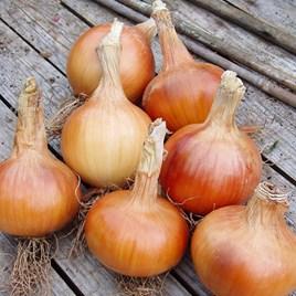 Onion Seeds - F1 Santero