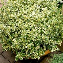 Herb Plant - Oregano Country Cream
