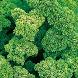Herb Seed - Parsley Envy