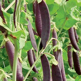 Pea Mangetout Seeds - Multicoloured Mix