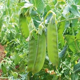 Pea Mangetout Seeds - Sweet Horizon