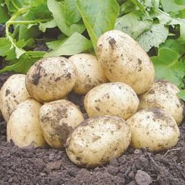 Seed Potatoes - Swift 1kg