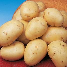 Seed Potatoes - Winston 1kg