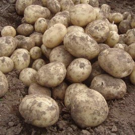 Seed Potatoes - Gemson 1kg