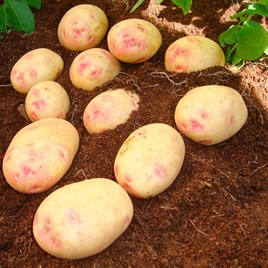Seed Potatoes - Vales Sovereign (1Kg) Vs