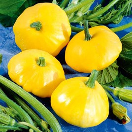 Squash Seeds - F1 Sunburst Patty Pan