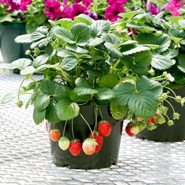 Strawberry Seeds - F1 Temptation