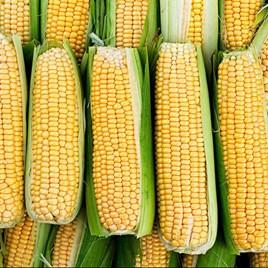 Sweet Corn Seeds Damaun
