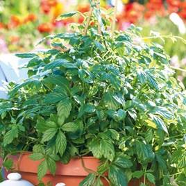 Herb Of Life 'Jiaogulan' (3) Botanical Infusions