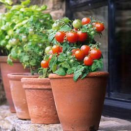 Tomato Seeds - Red Robin