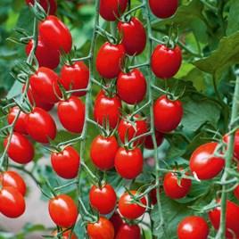 Grafted Tomato Plants - F1 Aviditas