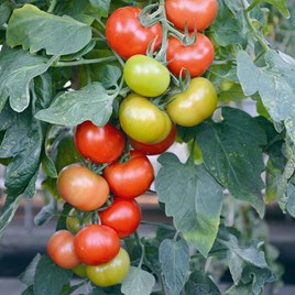 Grafted Tomato Plants - F1 Crimson Collection