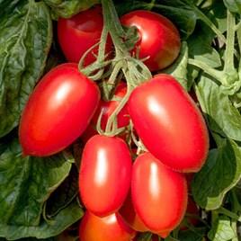 Grafted Tomato Plant - Crimson Plum
