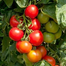 Tomato Seeds - Crimson Cocktail F1
