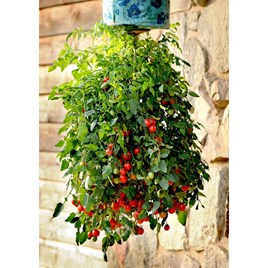 Tomato Plants - Topsy Tom Plants